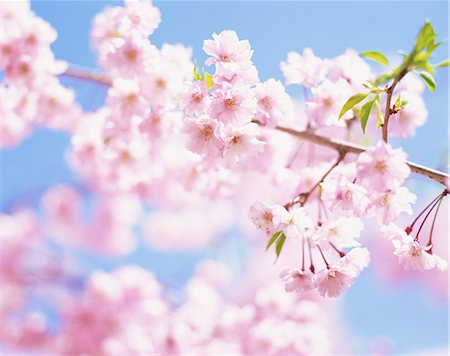 Cherry blossoms Stock Photo - Rights-Managed, Code: 859-07442227