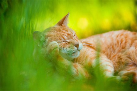 pictures cats - Cat Stock Photo - Rights-Managed, Code: 859-07566244