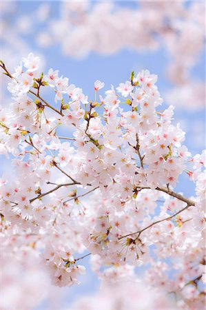 Cherry blossoms Stock Photo - Rights-Managed, Code: 859-07845955