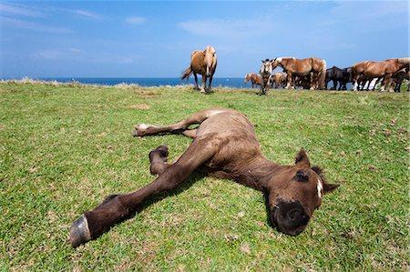 Hokkaido Horses grazing Stock Photo - Rights-Managed, Code: 859-07961781