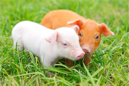 small - Piglets Stock Photo - Rights-Managed, Code: 859-08244526