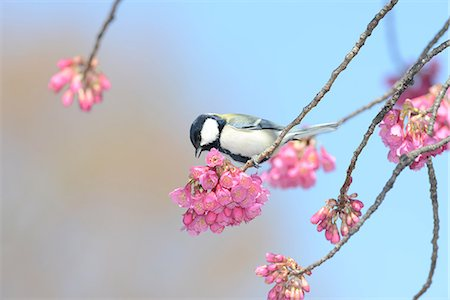 Japanese Tit Stock Photo - Rights-Managed, Code: 859-08244599