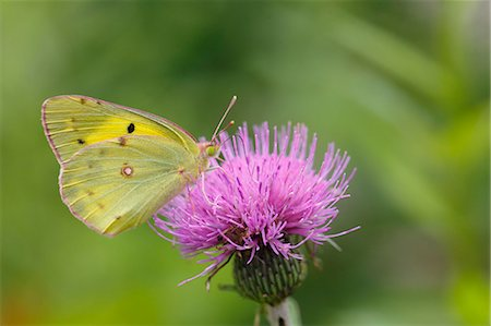 Colias Erate Stock Photo - Rights-Managed, Code: 859-08244604