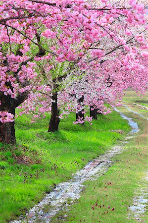 spring background - Yamagata Prefecture, Japan Stock Photo - Rights-Managed, Code: 859-08359312