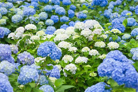 petal - Hydrangea flower field Stock Photo - Rights-Managed, Code: 859-08359384