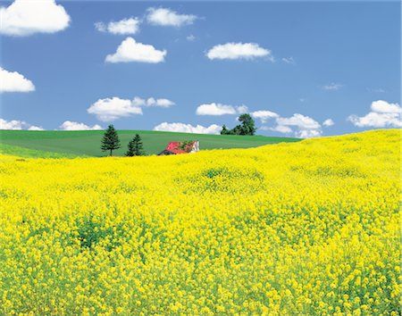 Rolling Hills Of Yellow Flowers Stock Photo - Rights-Managed, Code: 859-03036649