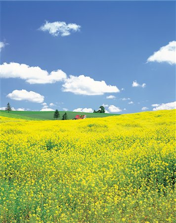Rolling Hills Of Yellow Flowers Stock Photo - Rights-Managed, Code: 859-03036650