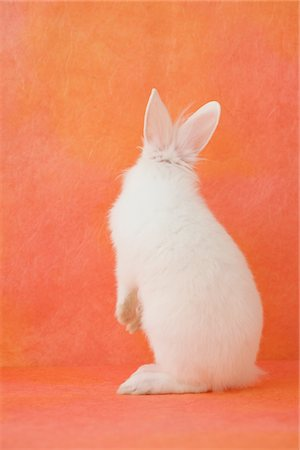 fluffy - White rabbit standing Stock Photo - Rights-Managed, Code: 859-03840497