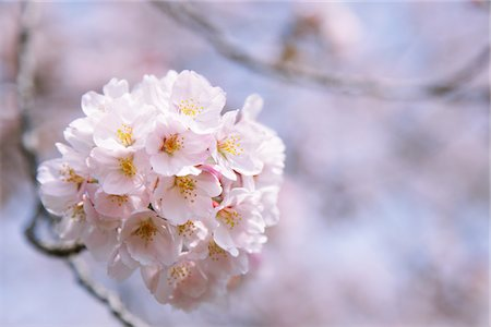 Cherry blossoms Stock Photo - Rights-Managed, Code: 859-03840743