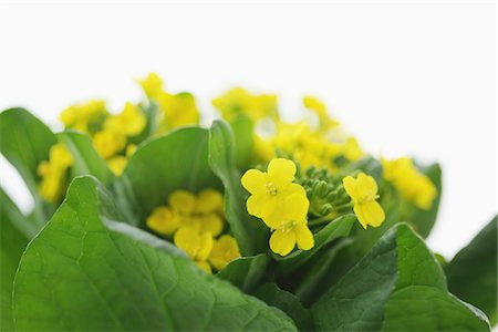 Rape flowers of Japanese mustard spinach Stock Photo - Rights-Managed, Code: 859-03885228