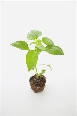 sprout - Bell pepper seedling Stock Photo - Rights-Managed, Code: 859-03885242