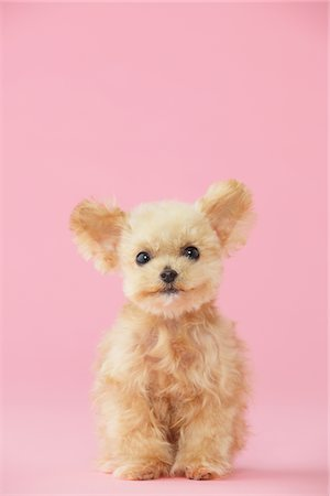 furry - Toy Poodle Dog Sitting Against Pink Background Stock Photo - Rights-Managed, Code: 859-03982339