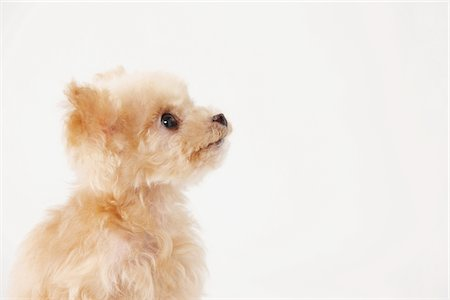 furry - Side View Of Toy Poodle Dog Against White Background Stock Photo - Rights-Managed, Code: 859-03982369