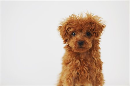 furry - Small Poodle Dog Against White Background Stock Photo - Rights-Managed, Code: 859-03982817