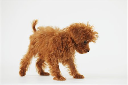 Small Poodle Dog Walking Against White Background Stock Photo - Rights-Managed, Code: 859-03982818
