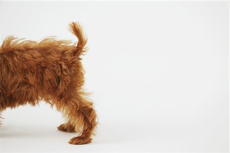 Small Poodle Dog Showing Tail Stock Photo - Rights-Managed, Code: 859-03982819