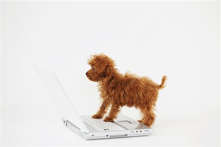 furry - Small Poodle Dog Standing Over Laptop Stock Photo - Rights-Managed, Code: 859-03982825