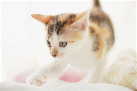Baby Kitten Walking, Close Up Stock Photo - Rights-Managed, Code: 859-03982850