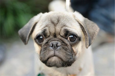 pvg - pug, portrait Stock Photo - Rights-Managed, Code: 853-03227845
