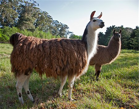 people in argentina - Llamas from Peru on Estancia San Miguel. Stock Photo - Rights-Managed, Code: 862-05996701