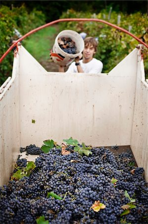 Italy, Umbria, Terni district, Castelviscardo. Grape harvest. Stock Photo - Rights-Managed, Code: 862-05998214