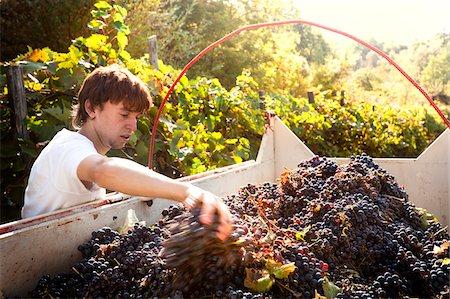 Italy, Umbria, Terni district, Castelviscardo. Grape harvest. Stock Photo - Rights-Managed, Code: 862-05998215