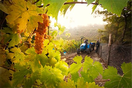 Italy, Umbria, Terni district, Castelviscardo. Grape harvest. Stock Photo - Rights-Managed, Code: 862-05998213