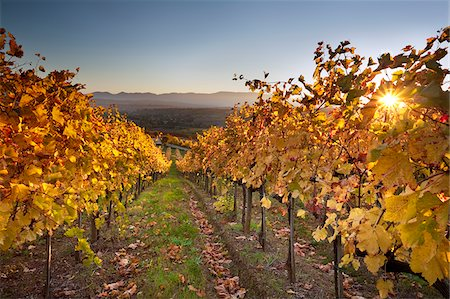 Italy, Umbria, Perugia district. Autumnal Vineyards near Montefalco Stock Photo - Rights-Managed, Code: 862-05998225