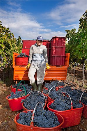 Italy, Umbria, Terni district, Giove, Grape harvest in Sandonna winery Stock Photo - Rights-Managed, Code: 862-05998221