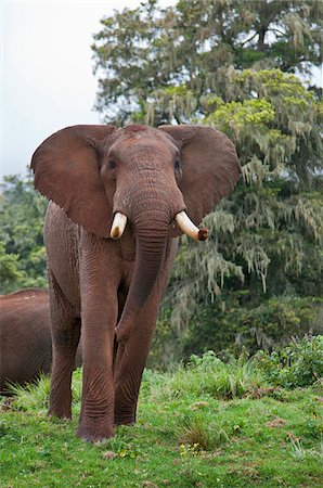 An African bull elephant in a forest glade of the Aberdare Mountains. Stock Photo - Rights-Managed, Code: 862-05998358