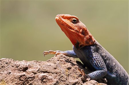 Portrait of a common (or red-headed rock) agama, basking on a rock in Lake Nakuru National Park, Kenya. Stock Photo - Rights-Managed, Code: 862-05998404