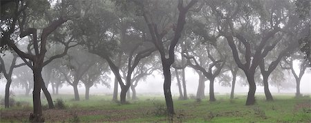 Cork trees in the mist. Portugal Stock Photo - Rights-Managed, Code: 862-05998951