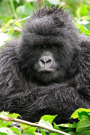 Adult female mountain gorilla sitting in the rain, Kwitonda Group, Mt Gahinga, Volcanoes National park, Rwanda. Stock Photo - Rights-Managed, Code: 862-05999056