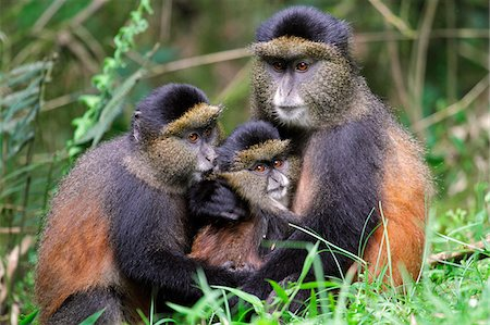 Golden monkey (Cercopithecus mitis kandti) with young in a grassy clearing in bamboo forest on the slopes of Volcanoes National Park, Rwanda. Stock Photo - Rights-Managed, Code: 862-05999050