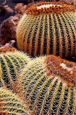 spike - Detail of a Cactus in Lanzarote, Spain Stock Photo - Rights-Managed, Code: 862-05999401
