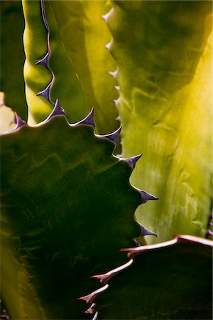 Detail of a Cactus in Lanzarote, Spain Stock Photo - Rights-Managed, Code: 862-05999403