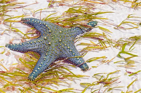 simsearch:400-04638538,k - Tanzania, Zanzibar, Unguja, Pongwe. A starfish revealed at low tide. Stock Photo - Rights-Managed, Code: 862-05999584