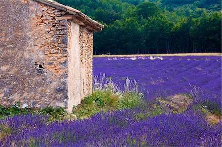 france - Blooming field of Lavender , Lavandula angustifolia, near St Christol and Sault, Vaucluse, Provence Alpes Cote dAzur, Southern France, France Stock Photo - Rights-Managed, Code: 862-06541702