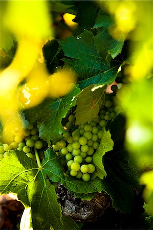 Wine production in Bonnieux, Vaucluse, Provence, France Stock Photo - Rights-Managed, Code: 862-06541738