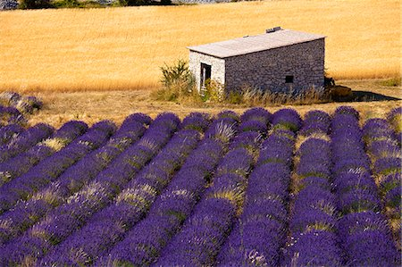 france - Blooming field of Lavender , Lavandula angustifolia, Vaucluse, Provence Alpes Cote dAzur, Southern France, France Stock Photo - Rights-Managed, Code: 862-06541751
