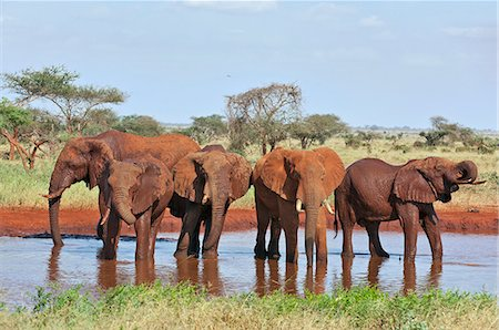 Elephants watering at Ngutuni which is adjacent to Tsavo East National Park. Stock Photo - Rights-Managed, Code: 862-06542166