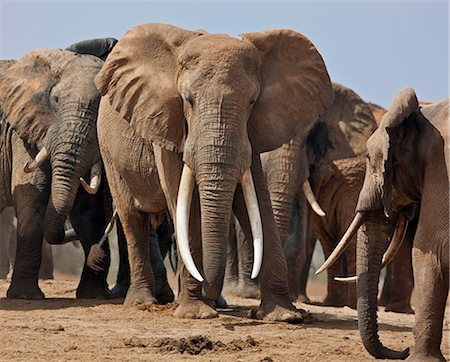 Elephants at a waterhole in Tsavo East National Park. Stock Photo - Rights-Managed, Code: 862-06542185