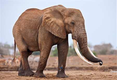 A large bull elephant at a waterhole in Tsavo East National Park. Stock Photo - Rights-Managed, Code: 862-06542180