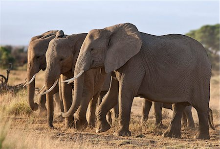 Elephants feeding on dried grass and browse. Stock Photo - Rights-Managed, Code: 862-06542204