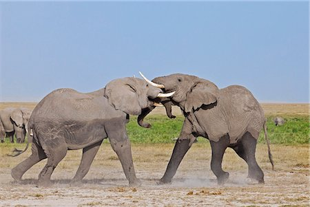 Two young bull elephants spar at Amboseli. Stock Photo - Rights-Managed, Code: 862-06542213