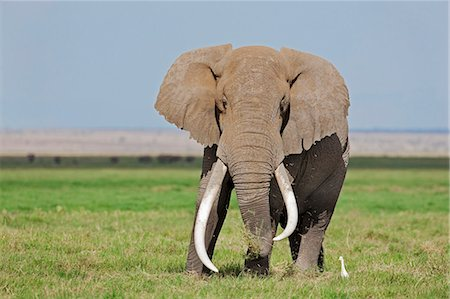 A large bull elephant feeds on grass in the permanent swamps at Amboseli while a cattle egret waits in close proximity to pounce on the insects it disturbs. Stock Photo - Rights-Managed, Code: 862-06542228