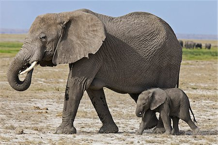A baby elephant follows its mother beside the permanent swamps at Amboseli. Stock Photo - Rights-Managed, Code: 862-06542234
