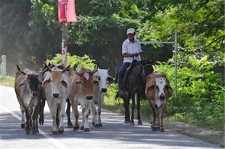 Local man herding his cattle, Playa Gigante, Nicaragua, Central America Stock Photo - Rights-Managed, Code: 862-06542600