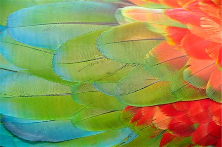 feather  close-up - Parrot feathers at Bocas del Toro near Isla Colon, Panama, Central America Stock Photo - Rights-Managed, Code: 862-06542662