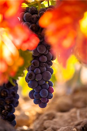 Vineyards in La Rioja , Alava, Rioja and Basque Country, Spain, Europe. Stock Photo - Rights-Managed, Code: 862-06542890